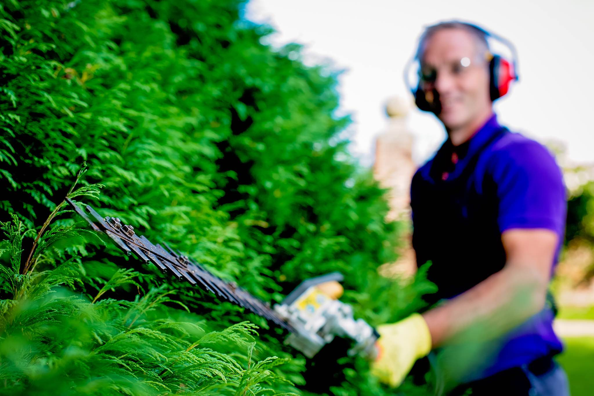 Paul Johnson pruning conifer hedge with Honda Hedge Trimmers